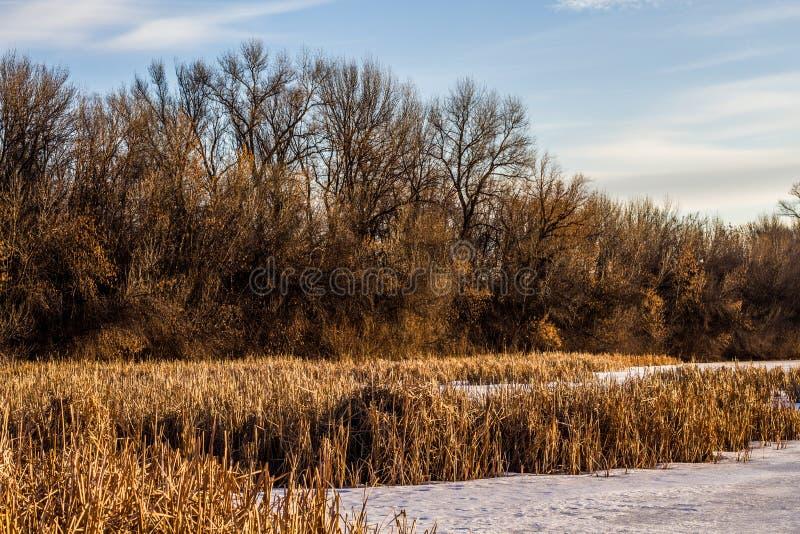 森林和芦苇在湖的冻岸 免版税库存图片