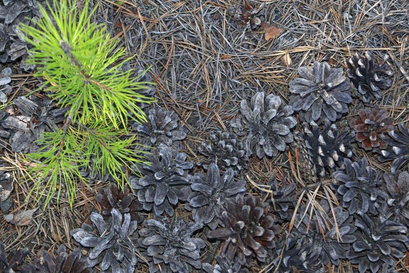 森林土壤干燥针和锥体的片段和杉木一个年轻新芽  库存照片