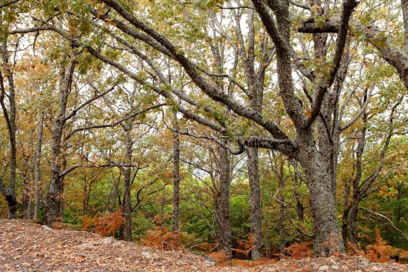 森林在与树的秋天有很多棕色叶子 库存图片