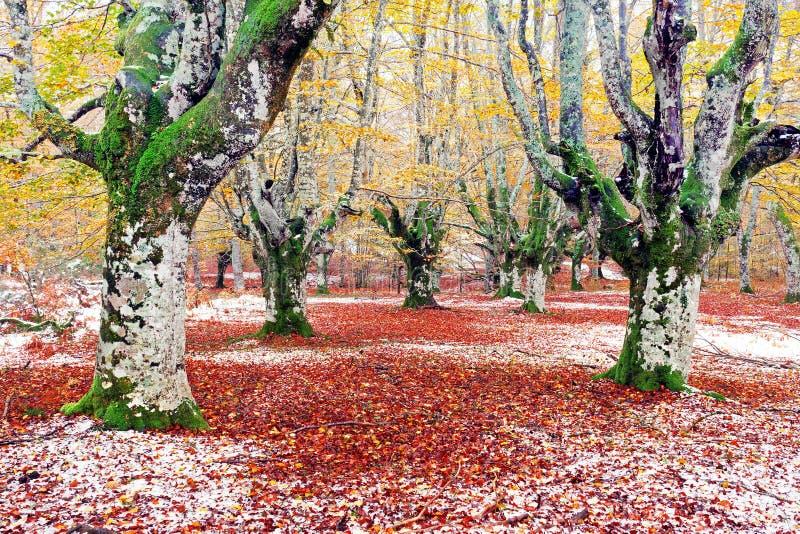 森林在与雪的秋天 免版税库存图片