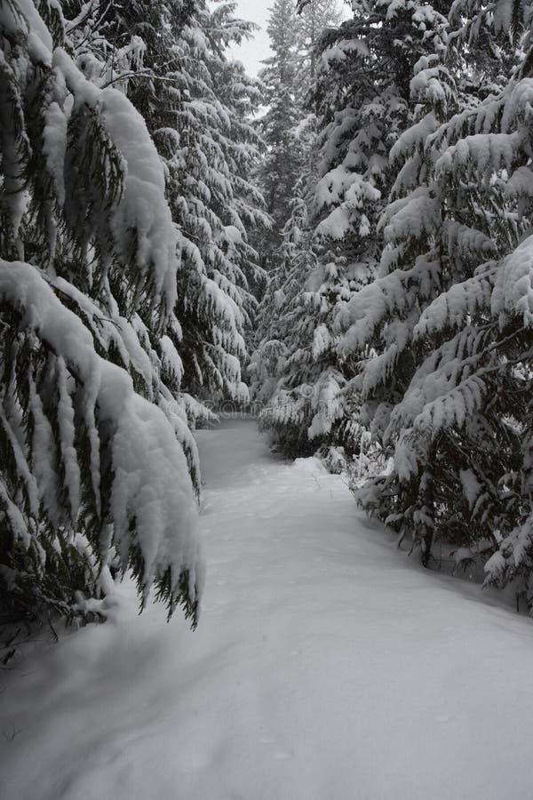 森林在冰川国家公园,蒙大拿的一个斯诺伊晚上 免版税图库摄影