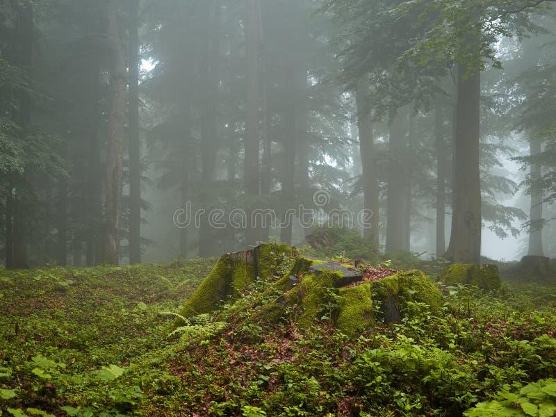 森林在夏天有雾的早晨 库存照片