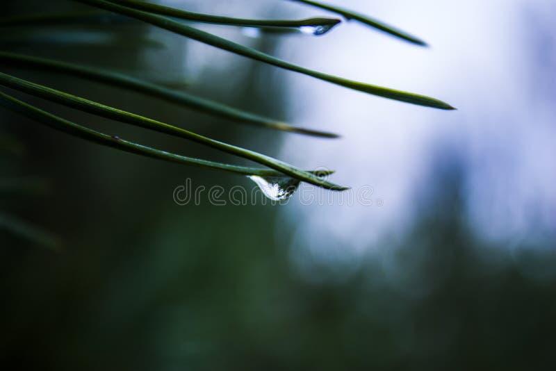 森林在水滴反射了在一根云杉的针的 免版税库存照片