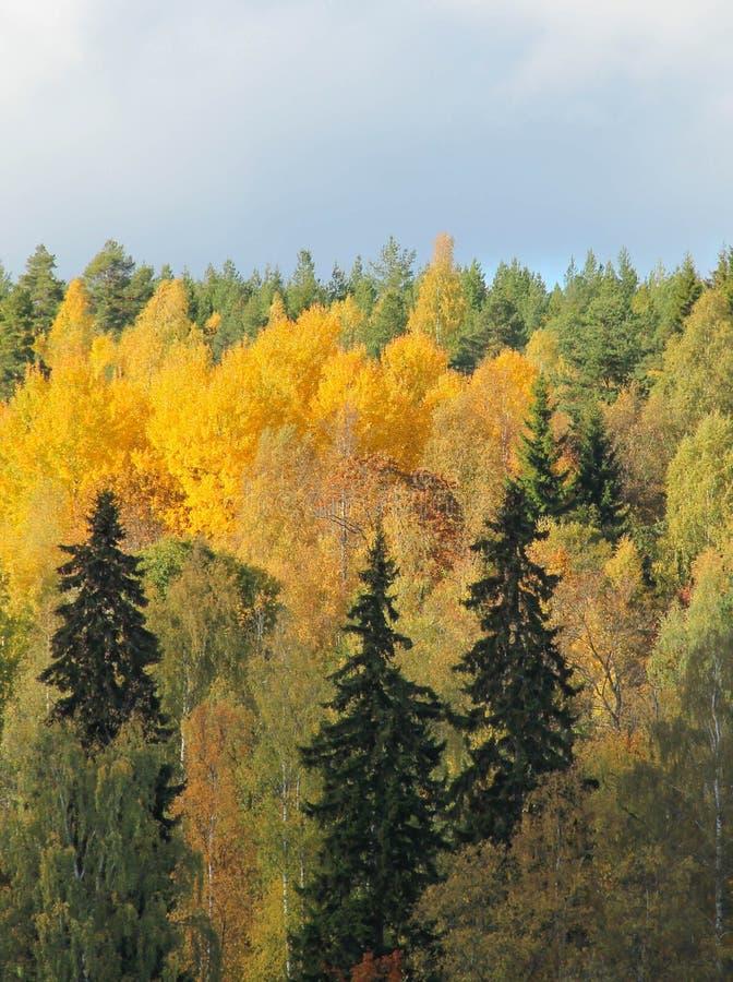 森林在秋天上色一个晴天 免版税库存照片