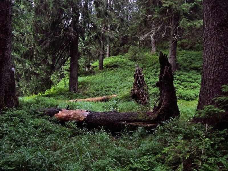 森林在途中的乌克兰喀尔巴汗对Hoverla 库存图片