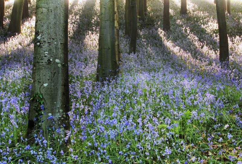 森林地会开蓝色钟形花的草在春天 免版税库存照片