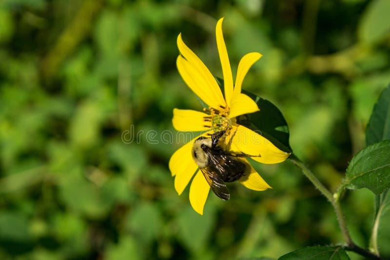 森林地向日葵和蜂 库存照片