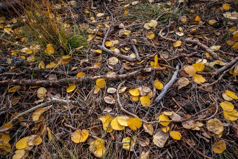 森林地板在有金黄白杨木叶子和分支的犹他 图库摄影