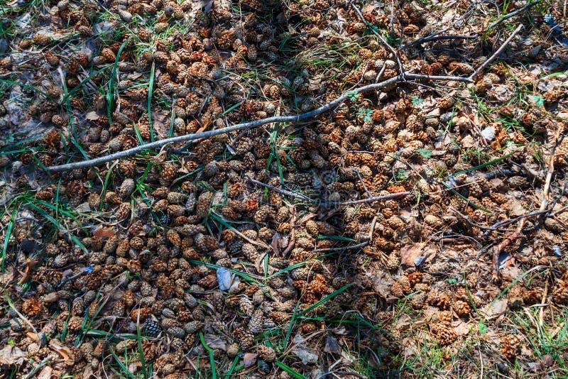 森林地板背景与杉木锥体和针的 库存图片