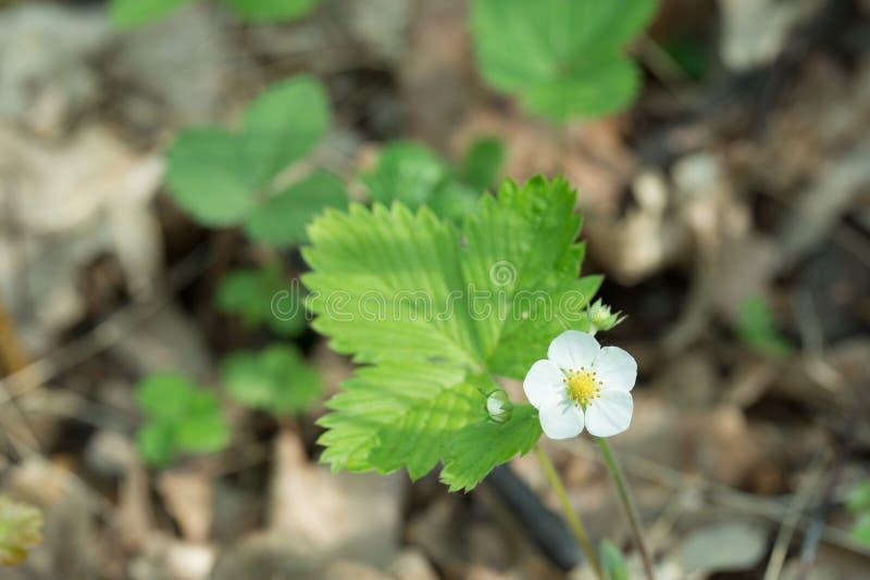 森林地草莓草莓属vesca白花 库存图片