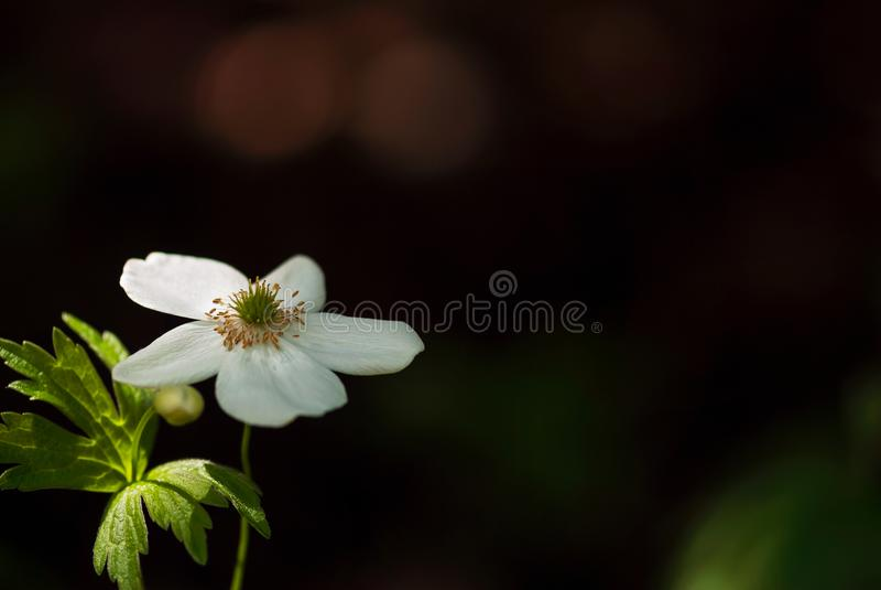 森林地银莲花属花 库存照片