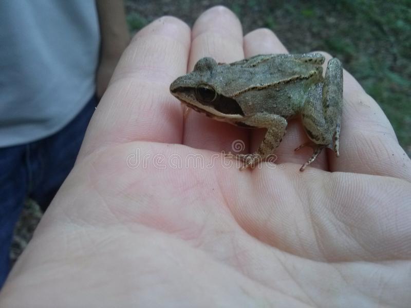 森林地青蛙 库存图片