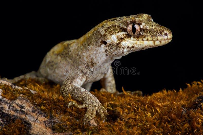 森林壁虎Mokopirirakau granulatus 图库摄影