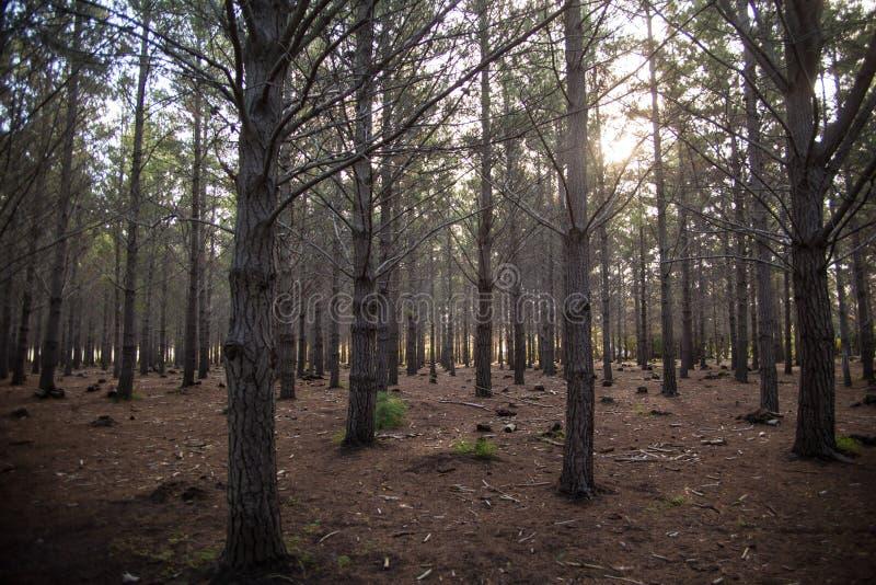 森林太阳光树 库存图片