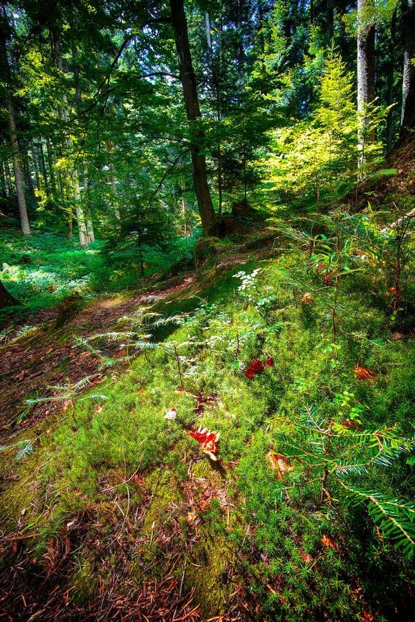 森林太阳的风景光芒通过树干和冠 库存照片