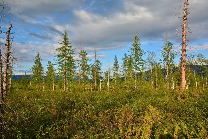 森林寒带草原在夏天 图库摄影