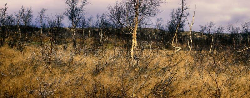 森林寒带草原在秋天中部-弯曲的桦树 库存图片