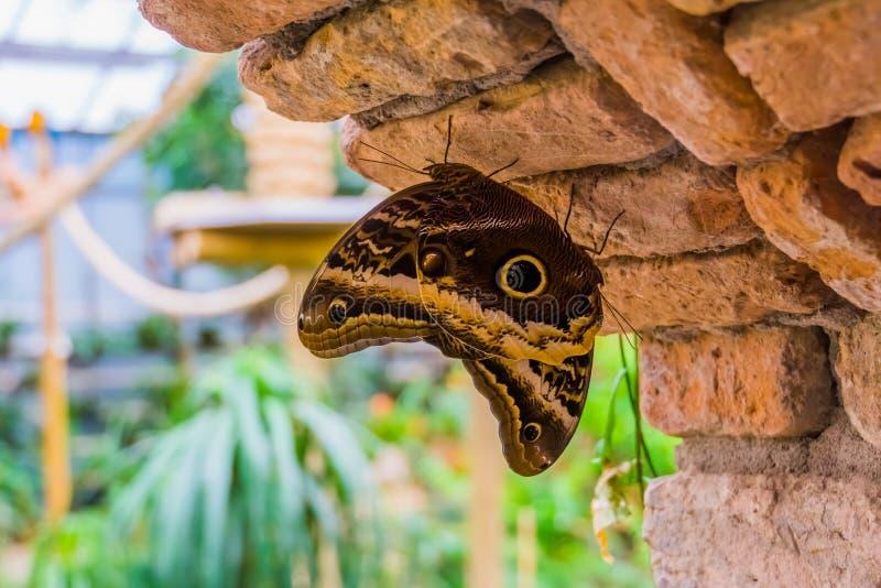 森林巨型猫头鹰蝴蝶,从美国,美丽和五颜六色的昆虫的一起大热带蝴蝶硬币夫妇  图库摄影