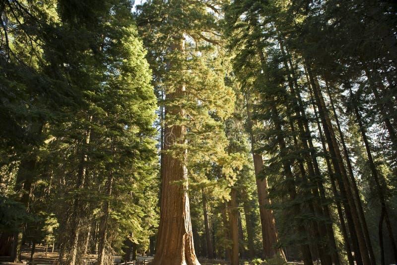 森林巨型美国加州红杉 图库摄影