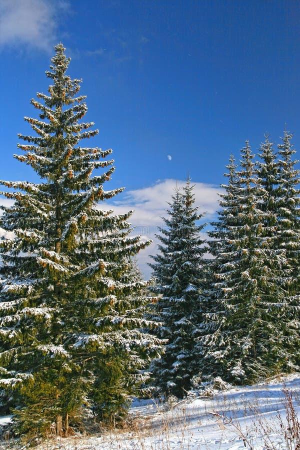 森林开头,针叶树树冬天场面  库存照片
