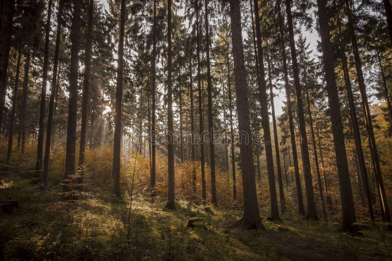 森林日落 免版税库存照片