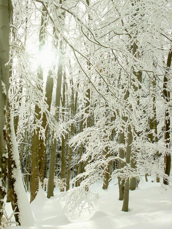 森林早晨发出光线风景星期日冬天 免版税库存照片