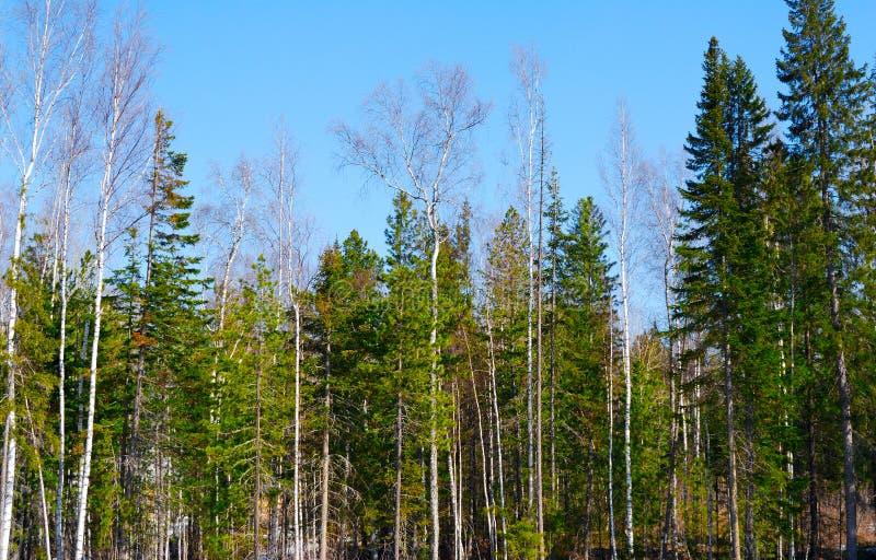 森林早晨春天 库存照片