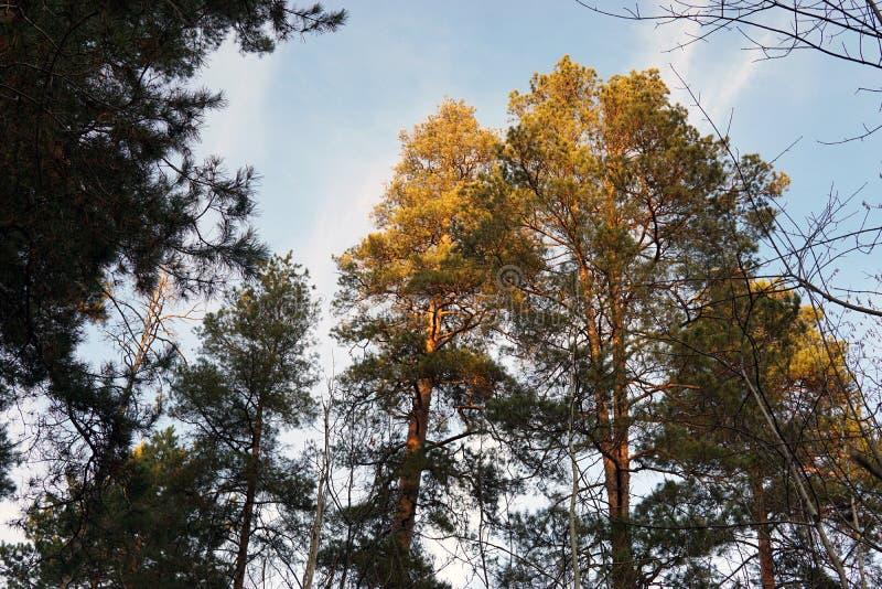 森林杉木的上面在日落光芒的  免版税库存图片