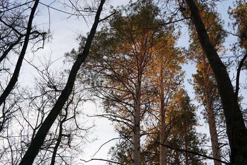 森林杉木的上面在日落光芒的  免版税库存照片