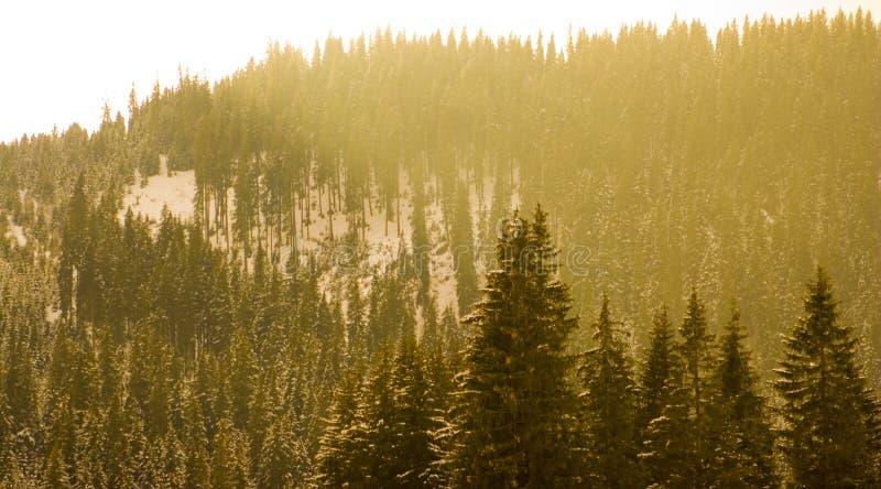 森林杉木 库存图片