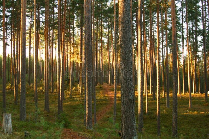 森林杉木 库存照片