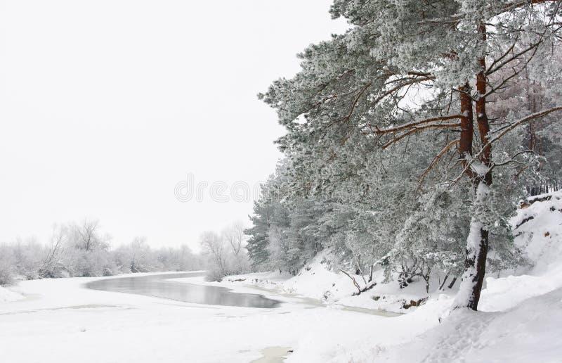 森林杉树冬天 图库摄影