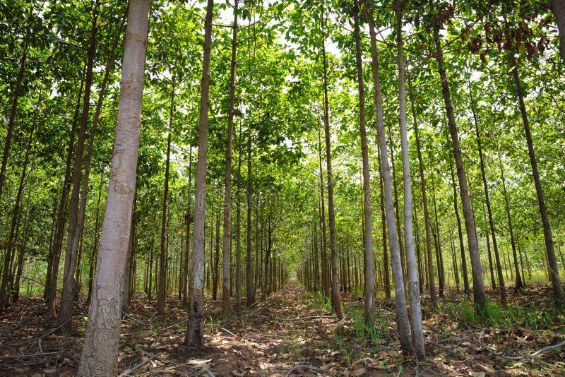 森林柚木树 免版税库存图片