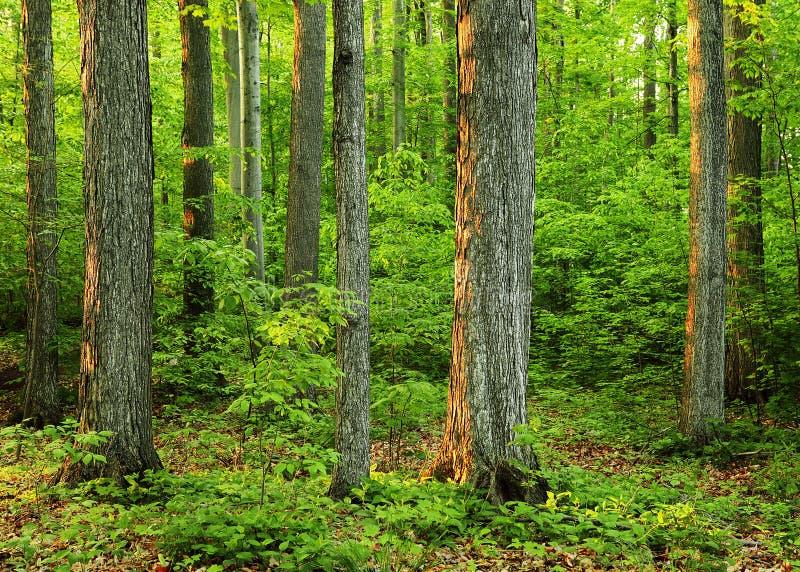 森林树丛增长老神圣 库存照片
