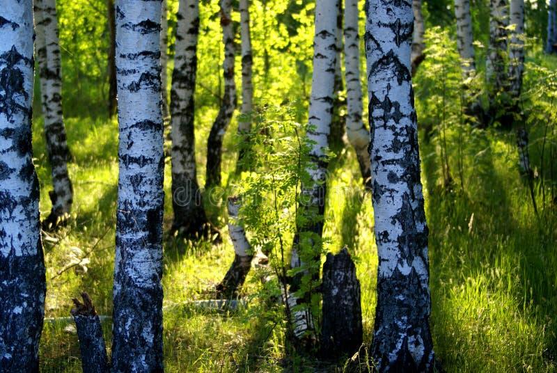 森林桦树 免版税库存照片