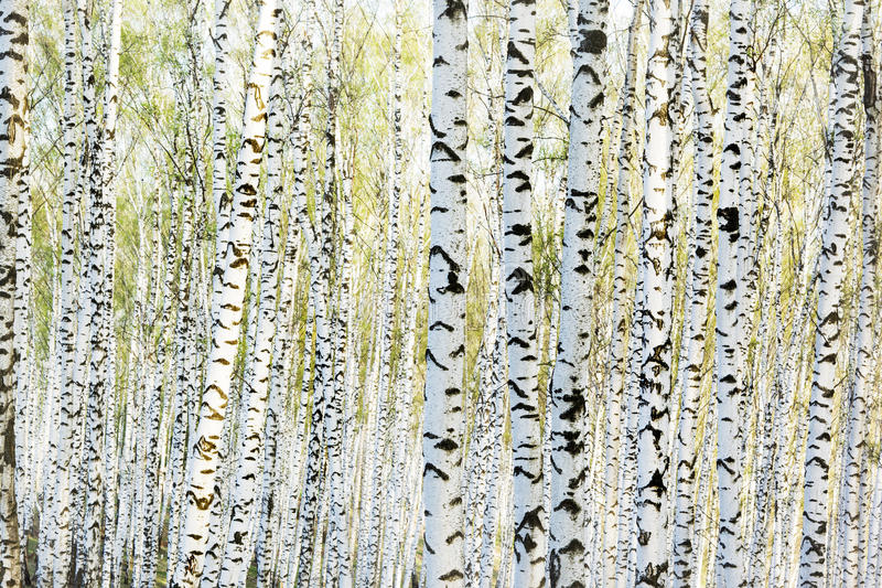 森林桦树 库存照片
