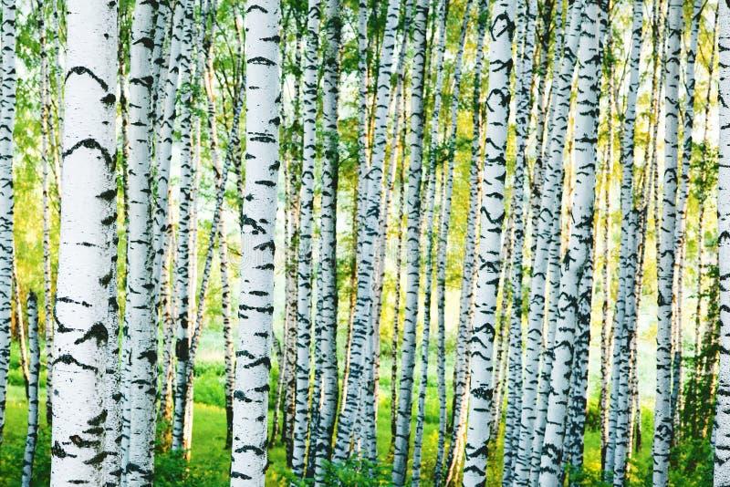 森林桦树 免版税库存图片