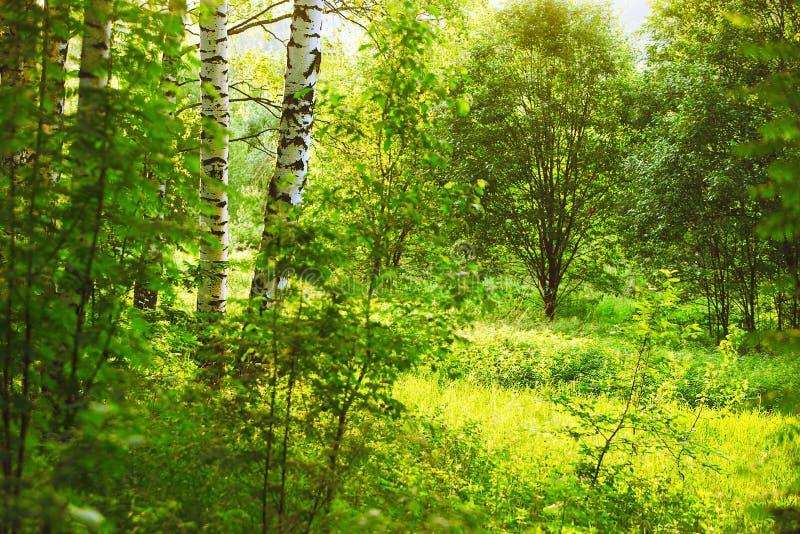 Download 森林桦树 库存图片. 图片 包括有 户外, 图象, 夏天, 森林, 树干, 结构树, 工厂, 早晨, 增长 - 72360079