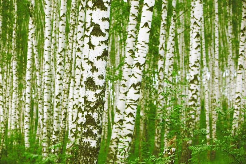 Download 森林桦树 库存照片. 图片 包括有 夏天, 原野, 森林, 户外, 图象, 落叶, 颜色, 醉汉, 两足动物 - 72361832