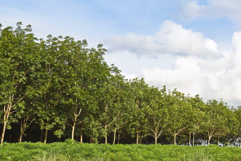 森林橡胶树 免版税图库摄影