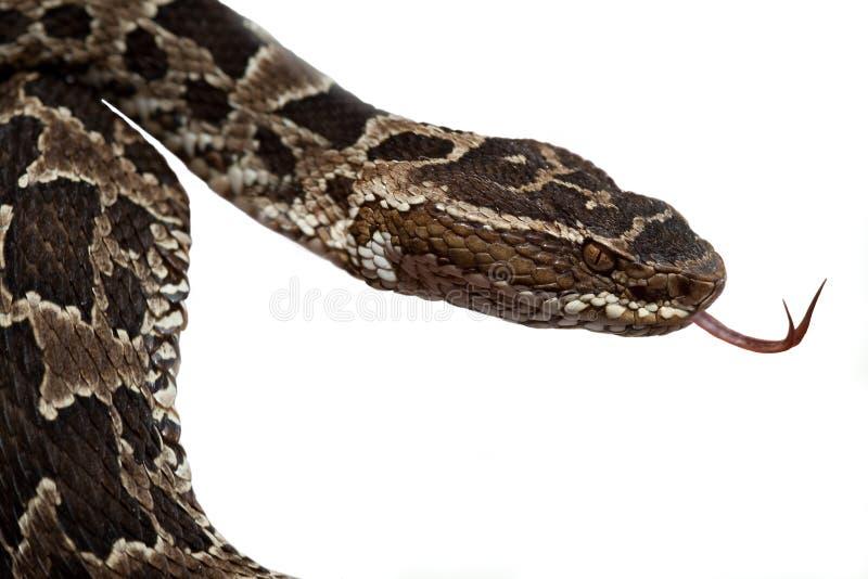 森林毒雨爬行动物蛇蛇 免版税库存图片