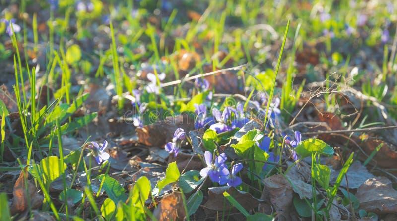 森林沼地春天 开花的木紫罗兰 十字架的阴影 免版税图库摄影