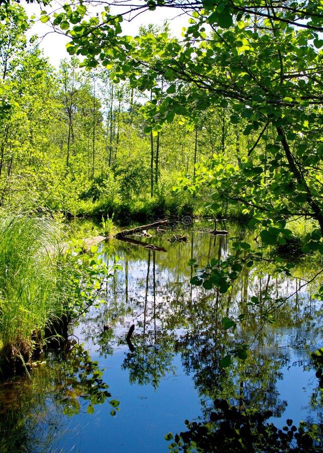 森林沼泽河在7月 免版税库存照片