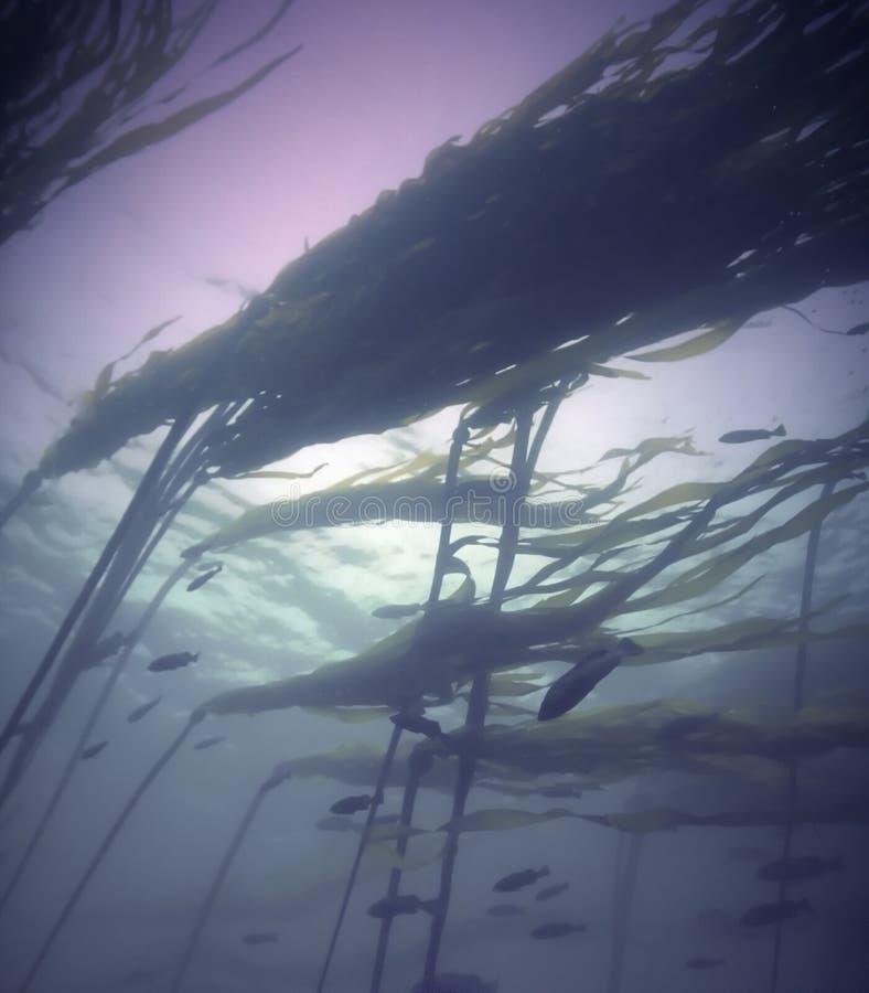 森林海带太平洋 免版税库存照片