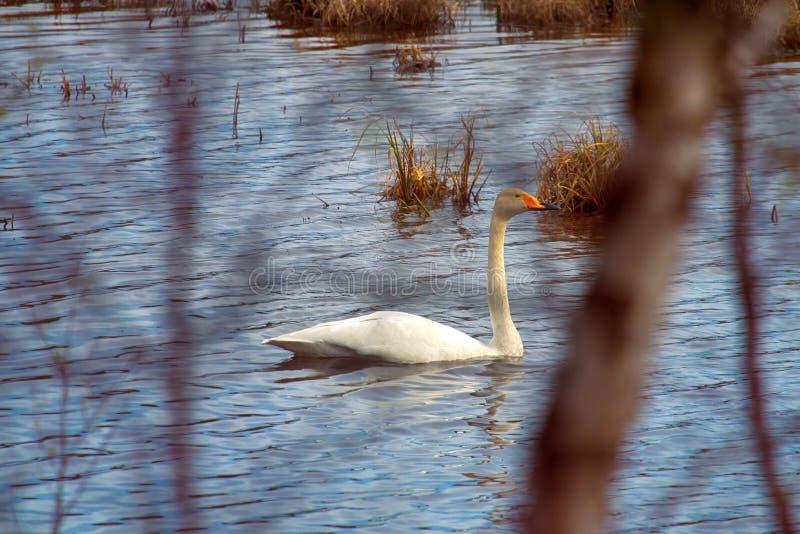 森林湖畔的天鹅 免版税库存图片