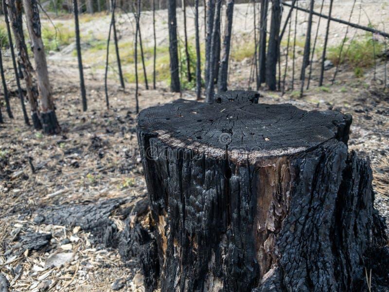 森林火灾后果树桩 免版税库存照片