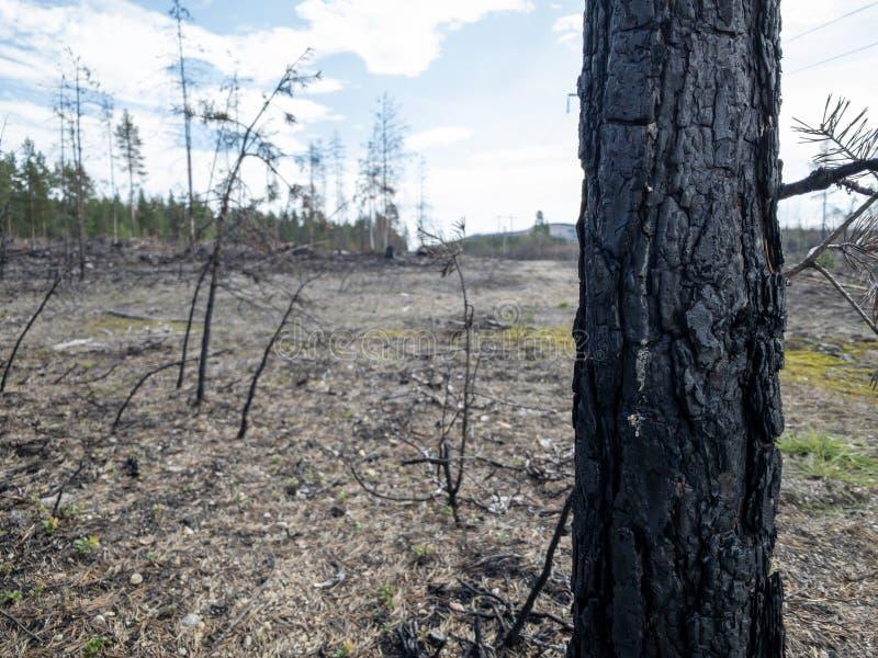 森林火灾后果 图库摄影