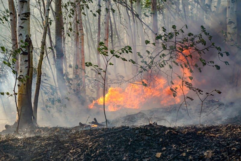 森林火灾在桦树森林里 免版税库存图片