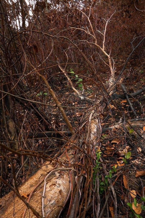 森林火灾,森林火灾后烧树 因为灾难森林而倒树 免版税库存照片