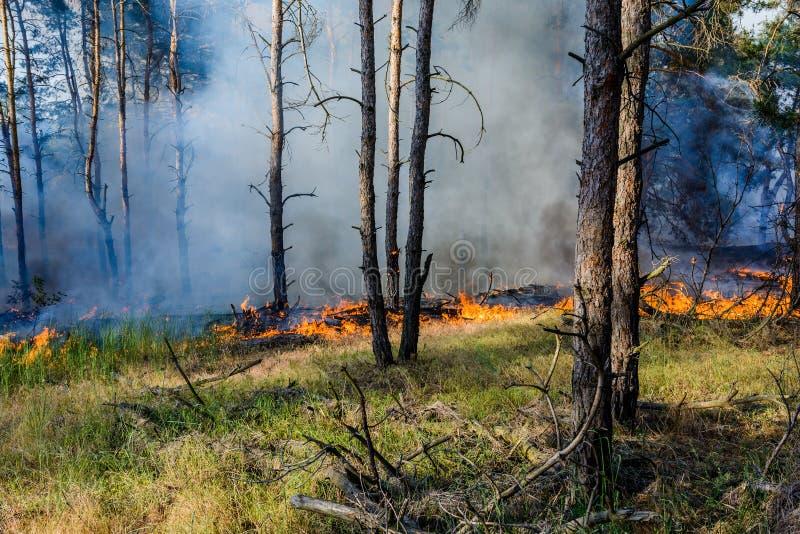 森林火灾 下落的树被烧成灰烬很多烟,当野火 库存图片